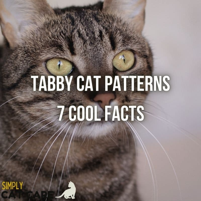 Tabby Cat Patterns – 7 Awesome Facts About Tabby Cats