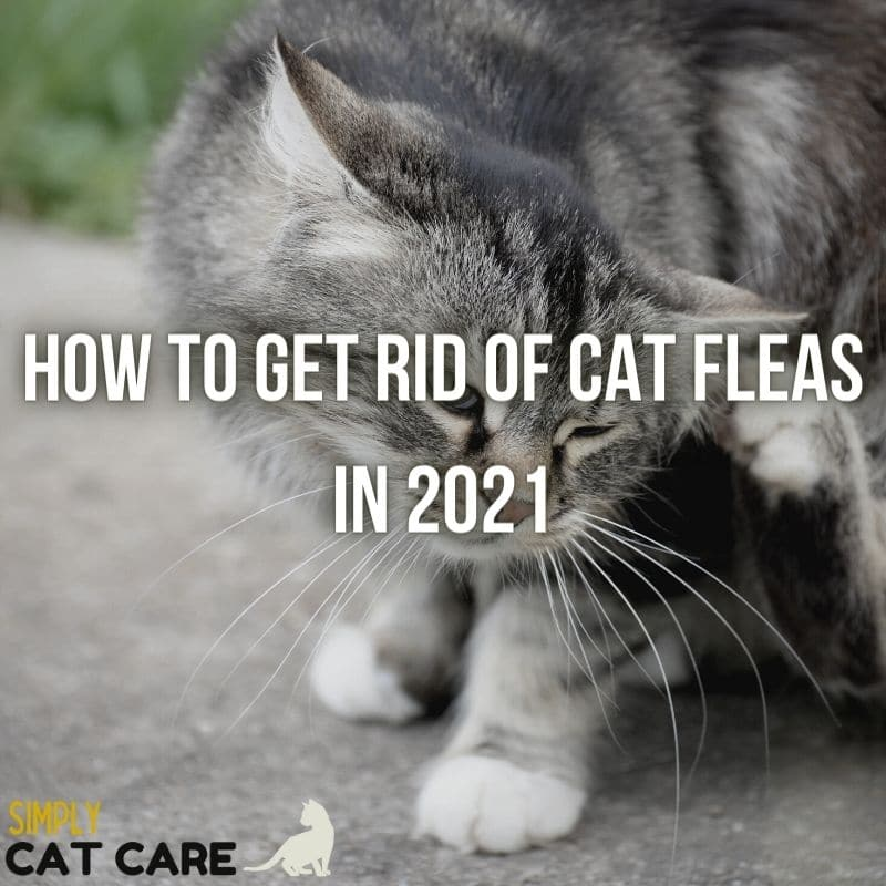 How to Get Rid of Cat Fleas Quickly 2021