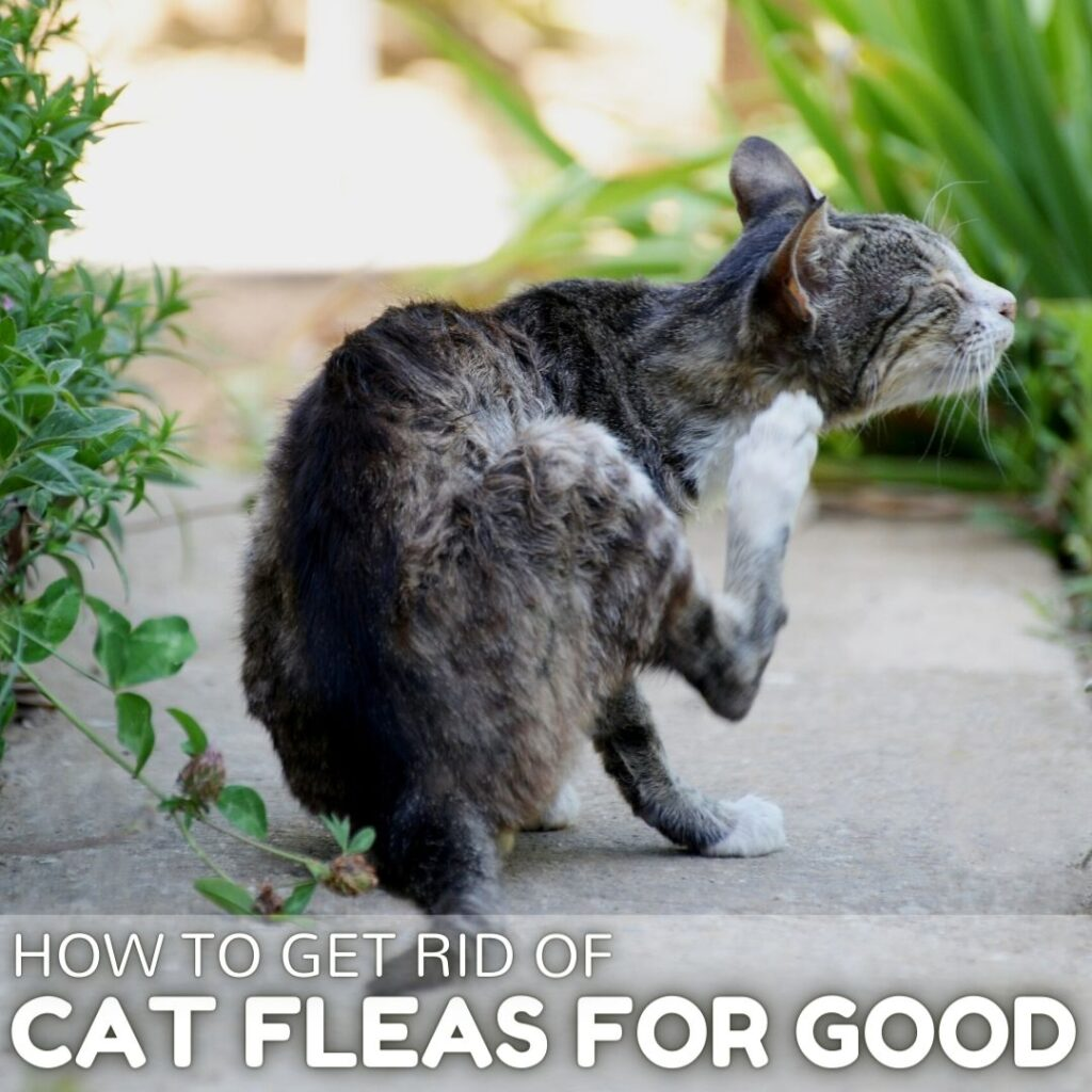 How to Get Rid of Cat Fleas in 2021