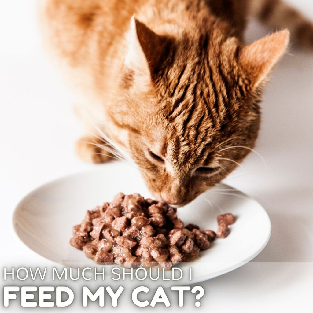 How Much Should I Feed my Cat? A Clear Guide for Owners in 2021