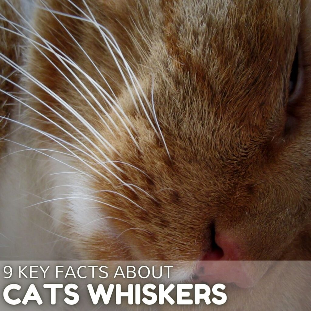 9 Interesting Key Facts About Cat Whiskers