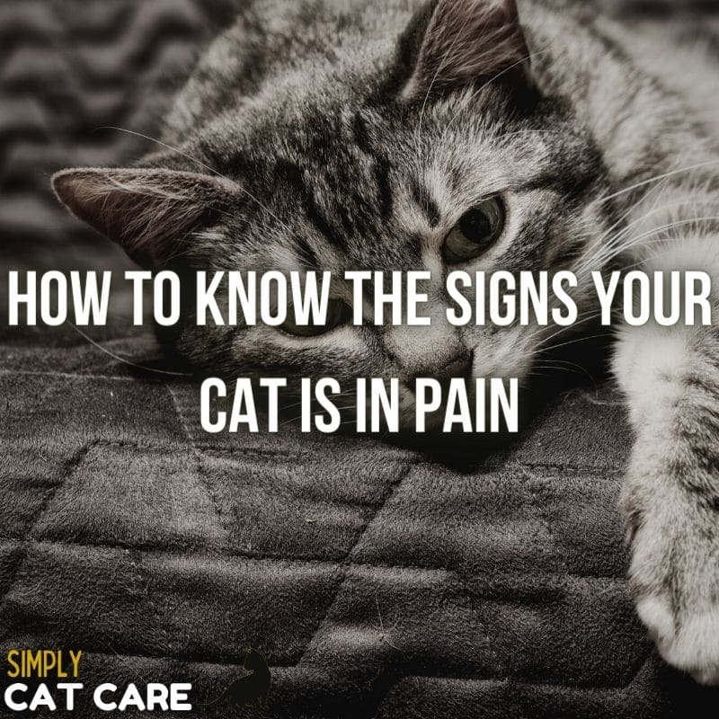 How To Know The Signs Your Cat Is In Pain