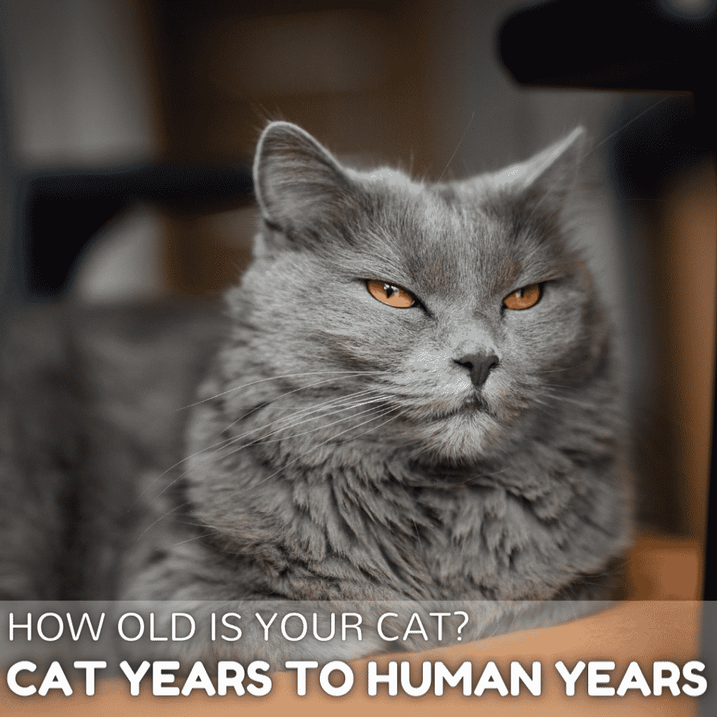 Cat years to human years:  How old is your cat?