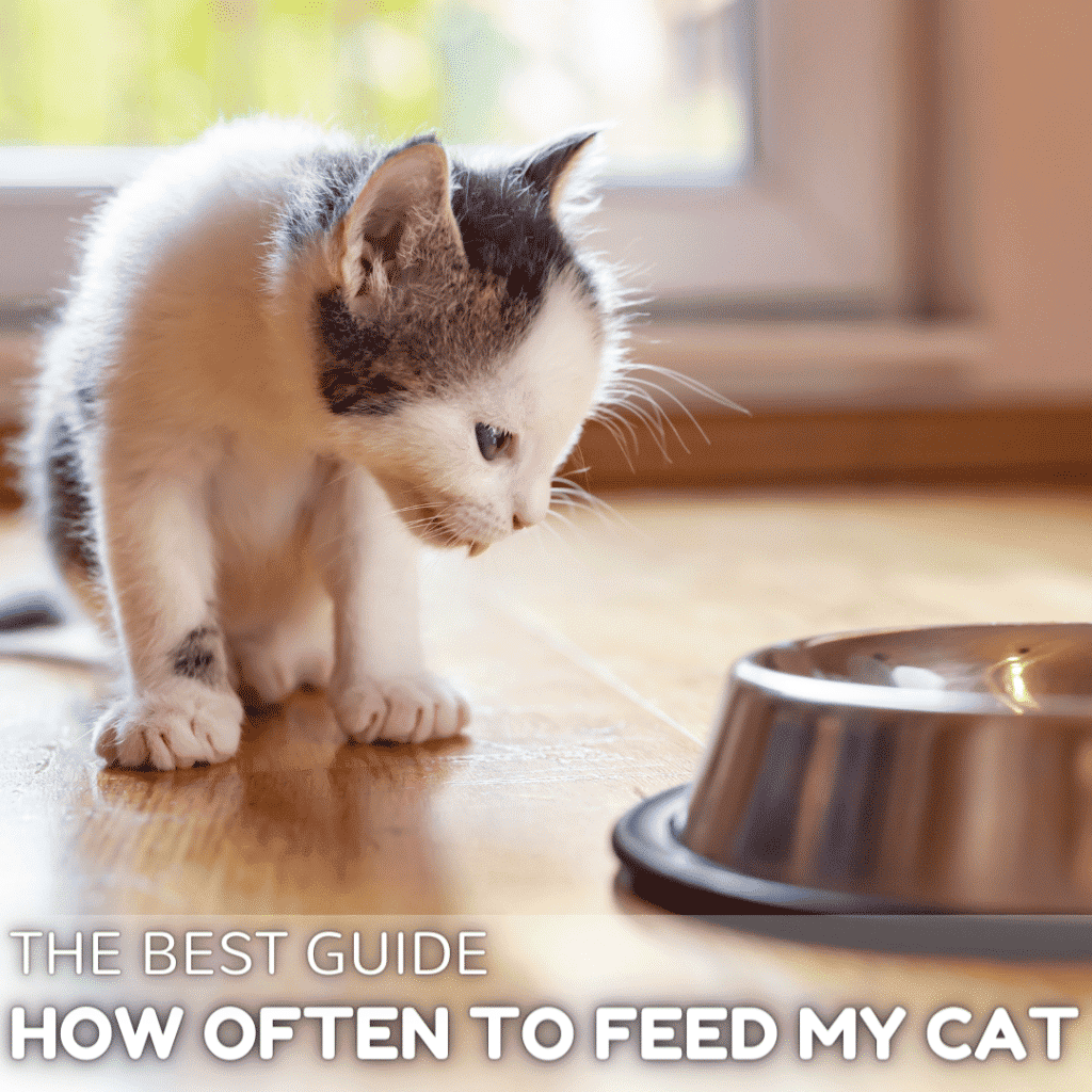 How often should I feed my cat? The Best Guide
