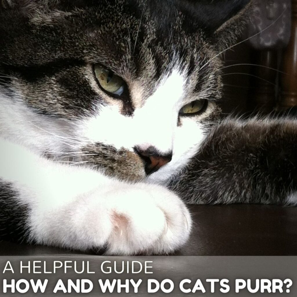 How and Why Do Cats Purr? A Helpful Guide