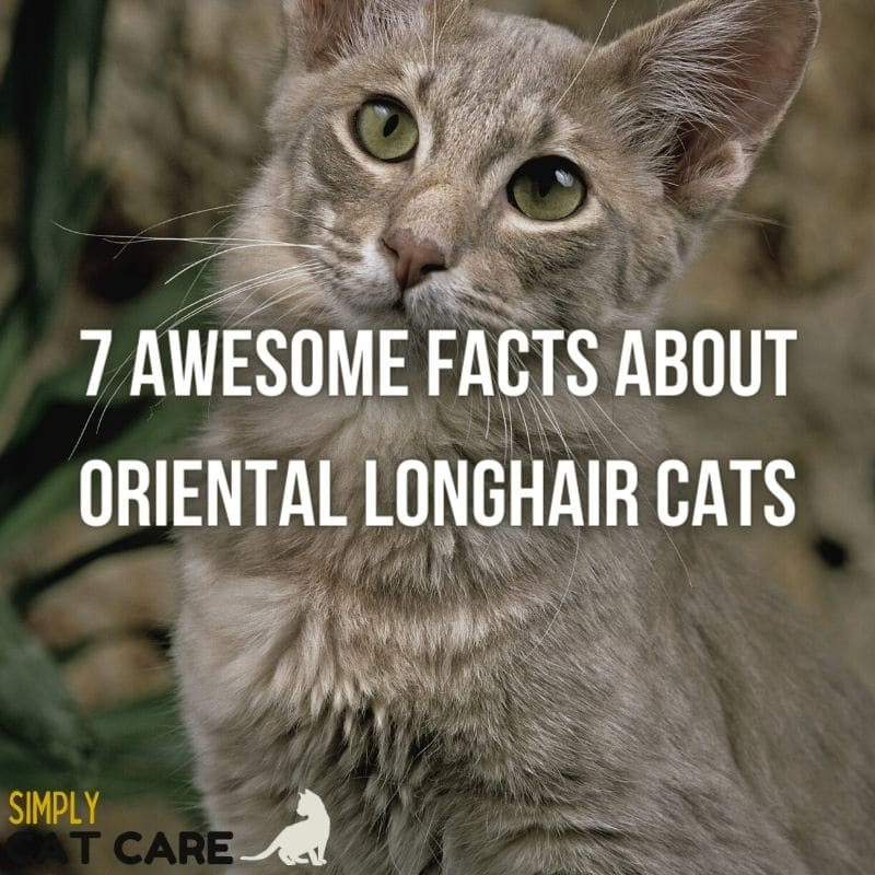 7 Awesome Facts about Oriental Longhair Cats