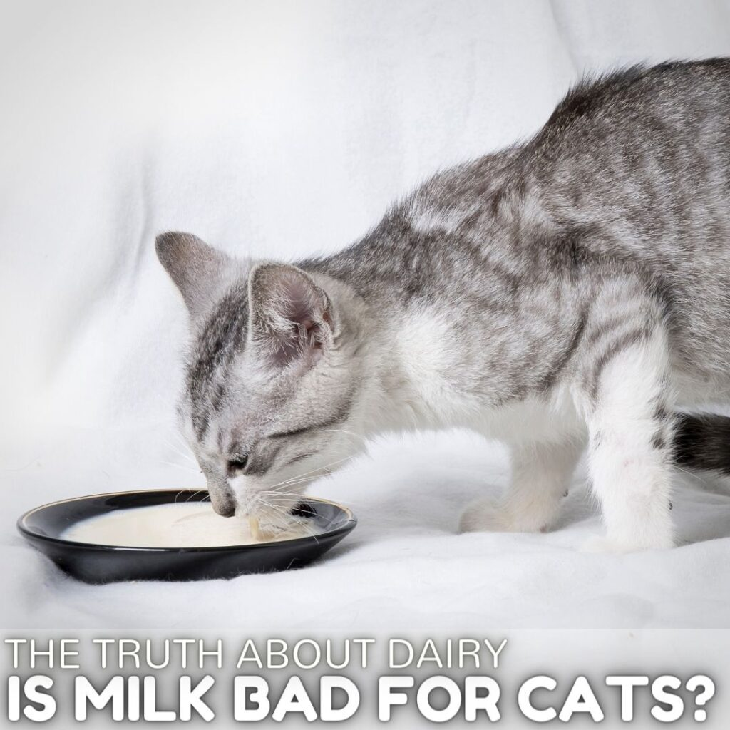 Is Milk Bad for Cats?  The Truth